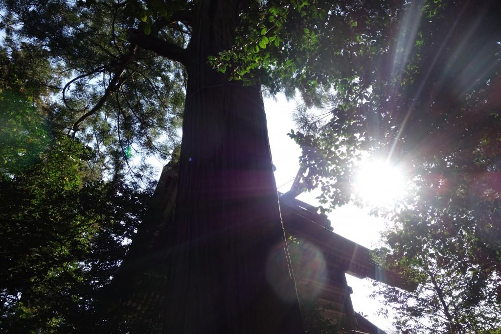 須佐神社の大杉