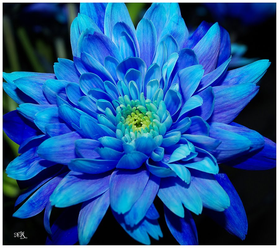 fleur-bleue-virus